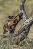 Wild dog, Ndutu Plains