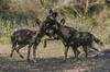 Wild dogs, Ndutu Plains