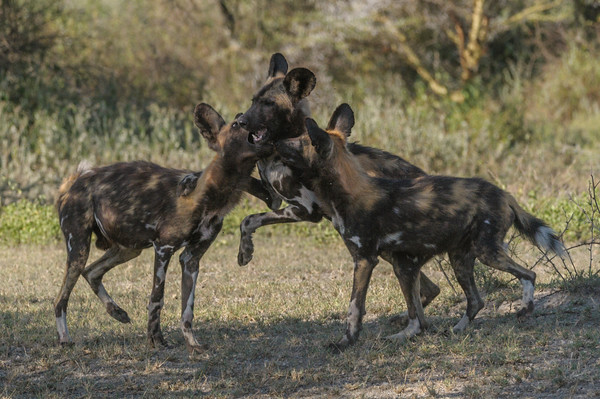Wild dogs, Ndutu Plains