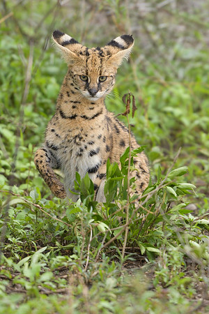 Serval Cat, Ndutu Plains