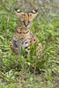 Serval Cat, Ndutu Plains
