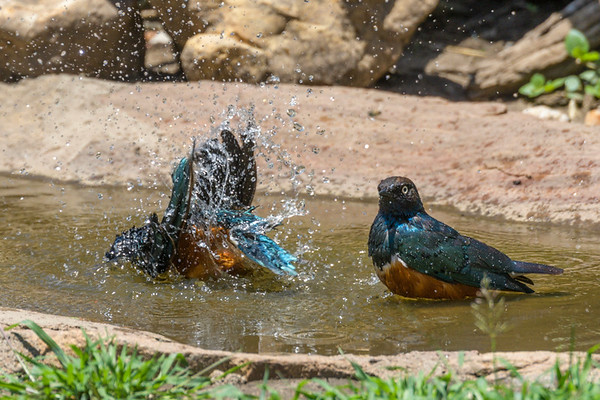 Superb Starlings bathing at Ndutu Lodge, Ndutu Plains