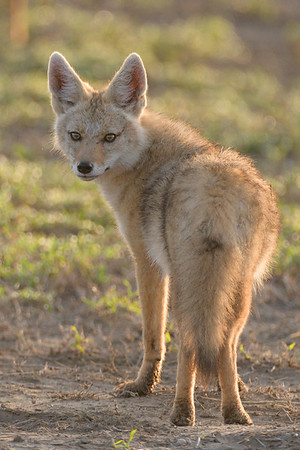 Jackal, Ndutu Plains