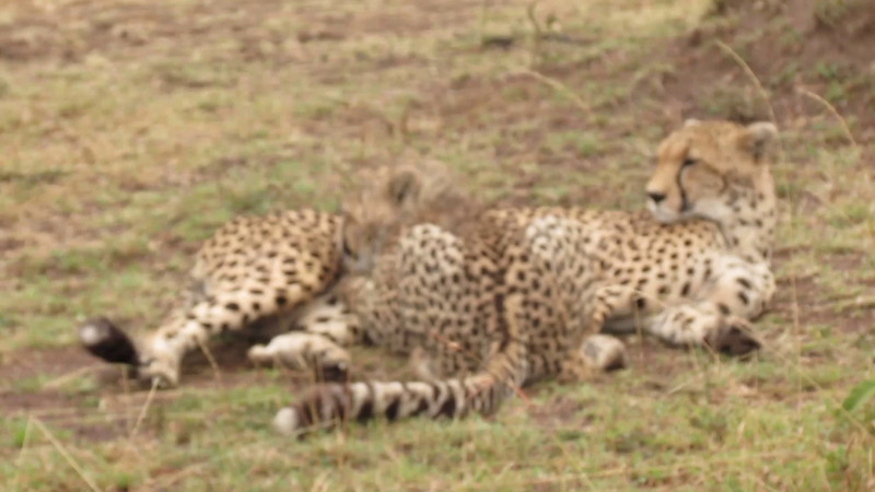 Saba and Makini, female cheetah and her cub in the Masai Mara. I understand that it's quite rare to see a cub this old still nursing!