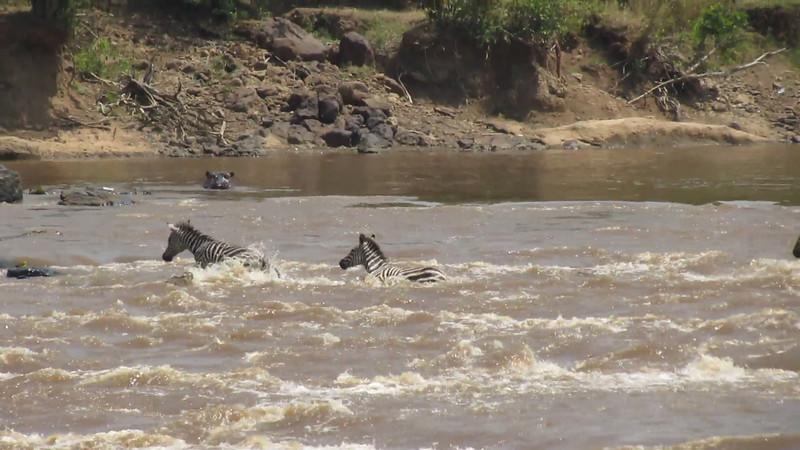 Croc Snatches a Zebra - Masai Mara, Kenya