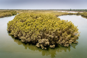 Mangrove forest in The Gambia