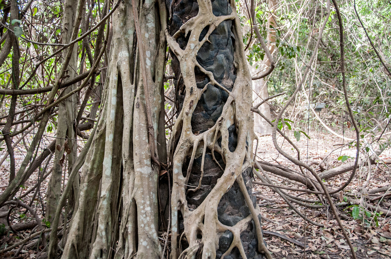 Root crawling on trees in Abuko Nature Reserve, Gambia
