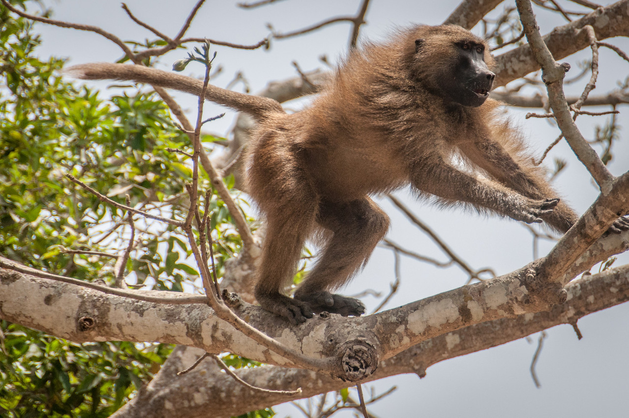 Monkey on a tree branch in Makasutu Cultural Forest - Banjul, Gambia