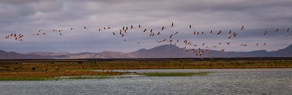 Flamingoes in Merzouga
