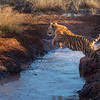 A tiger cub (panthera tigris tigris) jumps across a lightly frozen inlet of water