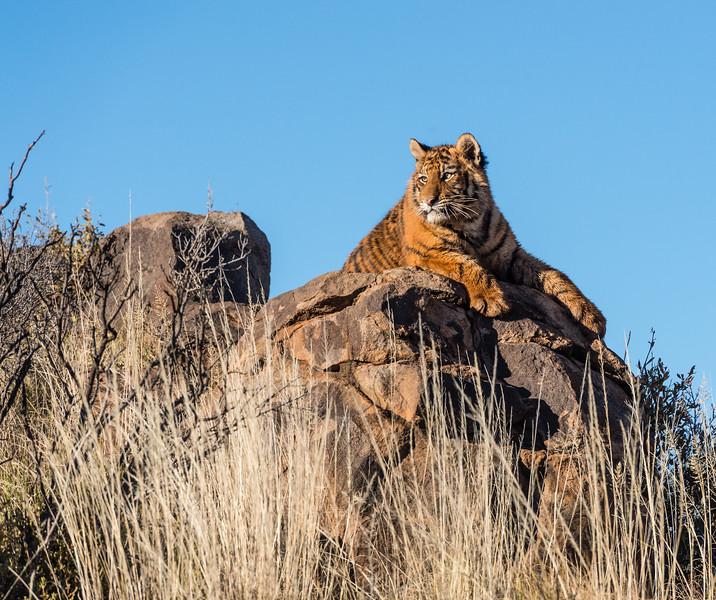 Tiger Cub Surveys Its Realm