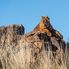 A tiger cub (panthera tigris tigris) watches the local area from atop a rocky outcrop