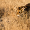 A tiger cub (panthera tigris tigris) practices stalking