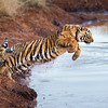 As one tiger cub (panthera tigris tigris) pursues, the other leaps across the water to make an escape