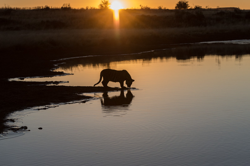 Tiger Cub At Sunrise