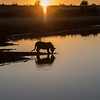 A tiger cub (panthera tigris tigris) is silhouetted by the rising sun
