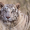 A white tiger (panthera tigris tigris) relaxes in the grass.  White tigers are often incorrectly thought to be albinos
