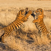 "A pair of seven month old tiger cubs (panthera tigris tigris) ""boxing"" during their morning play"