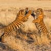 "A pair of seven month old tiger cubs (panthera tigris tigris) ""boxing"" during their morning play"