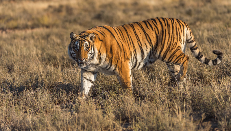 Majestic Tiger Markings