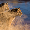Tiger cubs (panthera tigris tigris) watch activity on the other side of the water