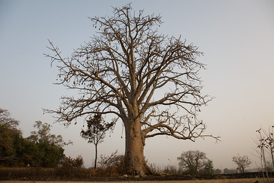 TAMBERNA VALLEY, TOGO - DECEMBER, 2006: Baobab tree. Located in the North of Togo, the Tamberma Valley is famous for it castle like mud houses called Tata. (Photo by: Christopher Herwig)