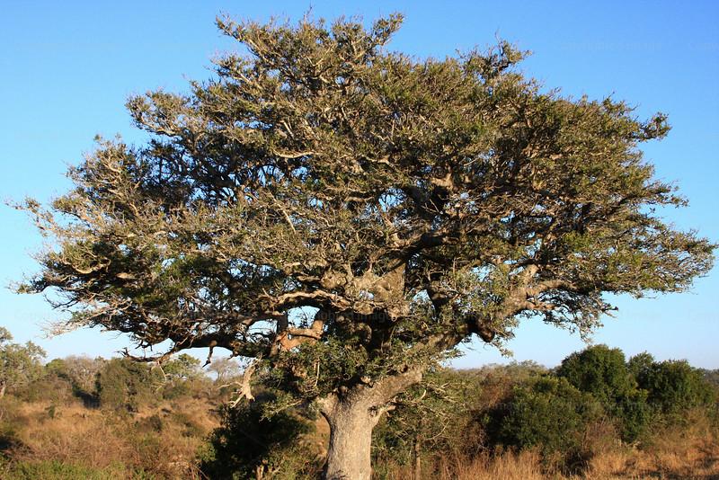 CRay-Trees-2