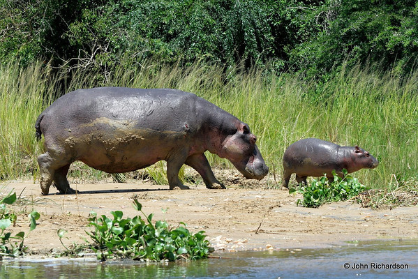 Mother hippo and new born