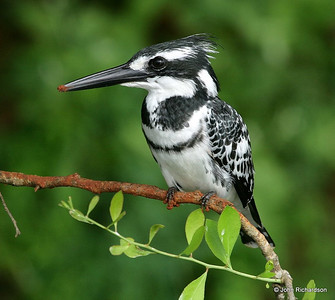 PIed Kingfisher sitting pretty