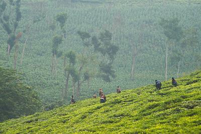 Early morning tea pickers. Kabarole District, western Uganda