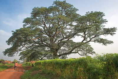 Arboreal patriarch. Apac district near Lake Kwania, Uganda