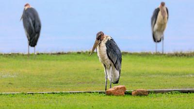 Marabu (Leptoptilos crumeniferus / marabou stork), on the shore of Lake Victoria, Uganda