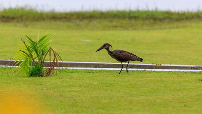 Hammerkopf (Scopus umbretta / Schattenvogel / hamerkop) on the shore of Lake Victoria, Uganda