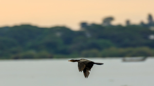 Kormoran on the shore of Lake Victoria, Uganda