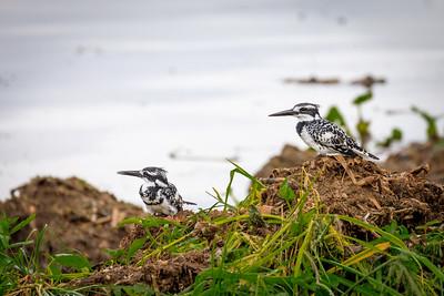 Graufischer (Ceryle rudis / Eisvogel / pied kingfisher) on the shore of Lake Victoria, Uganda