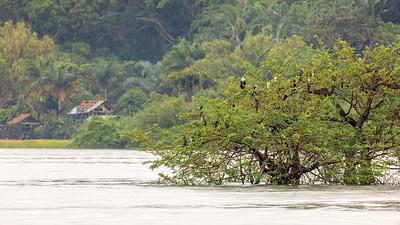Schlangenhalsvögel (Anhingidae Anhinga / African Darter) on the shore of Lake Victoria, Uganda