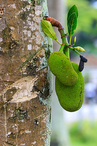 Jackfruchtbaum (Artocarpus heterophyllus / jack tree) on the shore of Lake Victoria, Uganda