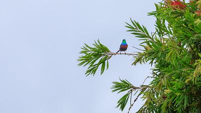 Olivbauch-Nektarvogel (Cinnyris chloropygius / Olive-bellied Sunbird) on the shore of Lake Victoria, Uganda