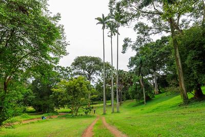Äthiopische Palmyrapalme (Borassus aethiopum), Naro Entebbe Botanical Gardens, Uganda