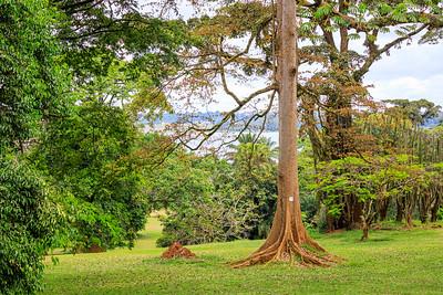 Upasbaum (Antiaris toxicaria Lesch / Moraceae / Maulbeerbäume), Naro Entebbe Botanical Gardens, Uganda