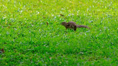 Rotbeinige Sonnenhörnchen (Heliosciurus rufobrachium / red-legged sun squirrel), Naro Entebbe Botanical Gardens, Uganda
