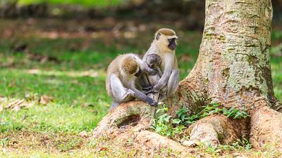 Grüne Meerkatzen (Chlorocebus / green monkey), Naro Entebbe Botanical Gardens, Uganda