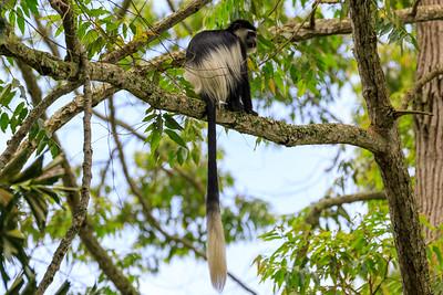 Schwarz-weißer Stummelaffe (Colobus / Black-and-white colobus), Naro Entebbe Botanical Gardens, Uganda