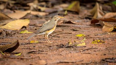 Kapdrossel (Turdus olivaceus / olive thrush / African Trush), Naro Entebbe Botanical Gardens, Uganda