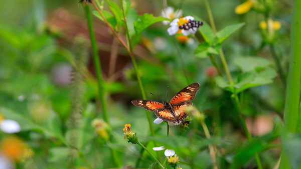 Schmetterling, Naro Entebbe Botanical Gardens, Uganda