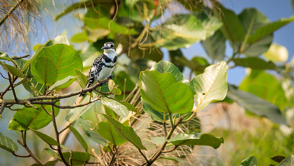 Graufischer (Ceryle rudis / pied kingfisher), Mabamba Bay Wetlands, Uganda