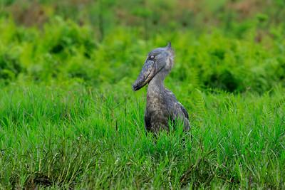 Schuhschnabel (Balaeniceps rex / Shoebill), Mabamba Bay Wetlands, Uganda