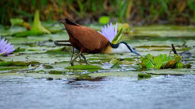 Blatthühnchen (Jacana), Mabamba Bay Wetlands, Uganda