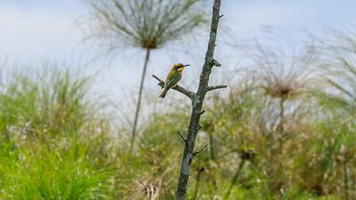 Zwergspint (Merops pusillus / Little bee-eater), Mabamba Bay Wetlands, Uganda