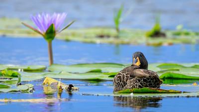 Gelbschnabelente (Anas undulata / yellow-billed duck), Mabamba Bay Wetlands, Uganda